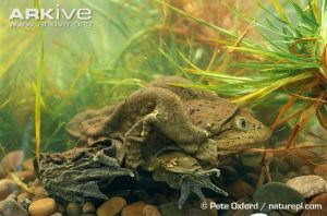 Lake Titicaca Frog