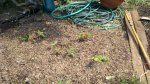 Completed strawberry patch with mulch