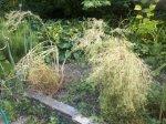 drying cilantro/coriander