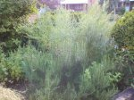 Perennial herbs: rosemary, lavender, tarragon, lemon balm and echinacea.