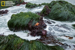 Sea grass and kelp at Bodega Bay, CA