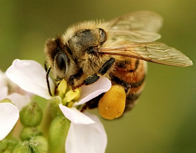 Honey-bee-pollen-basket